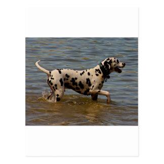 Dalmatinischer Hund Postkarte