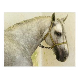 Dapple graues andalusisches Pferd Postkarte
