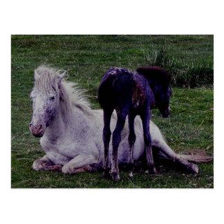 Dartmoor Pony-graue Stuten-stillstehendes Fohlen Postkarte