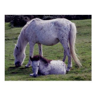 Dartmoor Pony-graues Stute Grazeing Postkarte