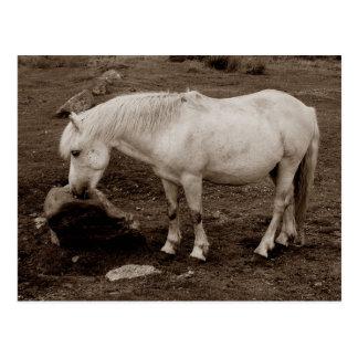 Dartmoor Pony-Reibungsmund auf Felsen (Sepia) Postkarte