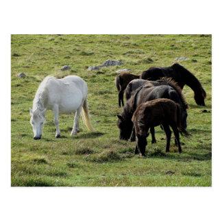 Dartmoor Ponys Grazeing Sommer Postkarten