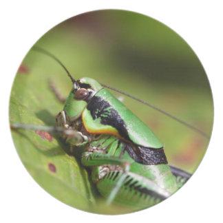 Das katydid Kricket Eupholidoptera chabrieri Melaminteller