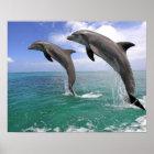 Delfin, Dauphin, groberes Tuemmler, Tursiops 4 Poster