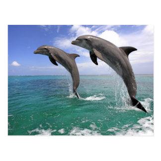 Delfin, Dauphin, groberes Tuemmler, Tursiops 4 Postkarte