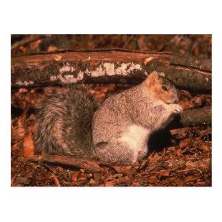 Delmarva Halbinselfox-Eichhörnchen Postkarte