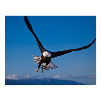 Der amerikanische Weißkopfseeadler Postkarten