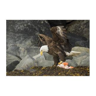Der entscheidende Weißkopfseeadler Acryldruck