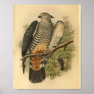 Der Kuckuck-Falke-Vogel-FarbVintager Druck des Poster