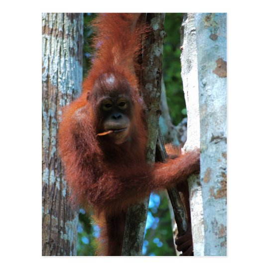 Der Redhead der Natur: der rote Affe Postkarte
