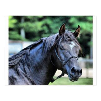 Der stolze arabische Stallion Postkarte