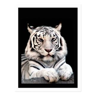 Der weiße bengalische Tiger Postkarten