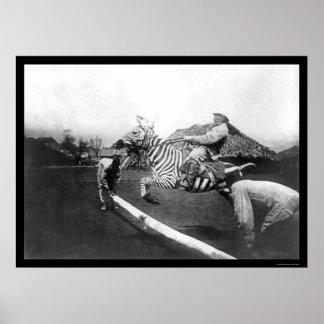 Der Zebra einen Zaun in Afrika 1904 springend Posterdruck