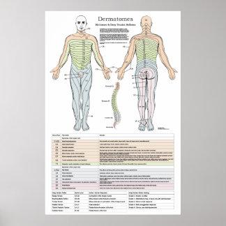 Dermatomes, Myotomes und DTR Plakat