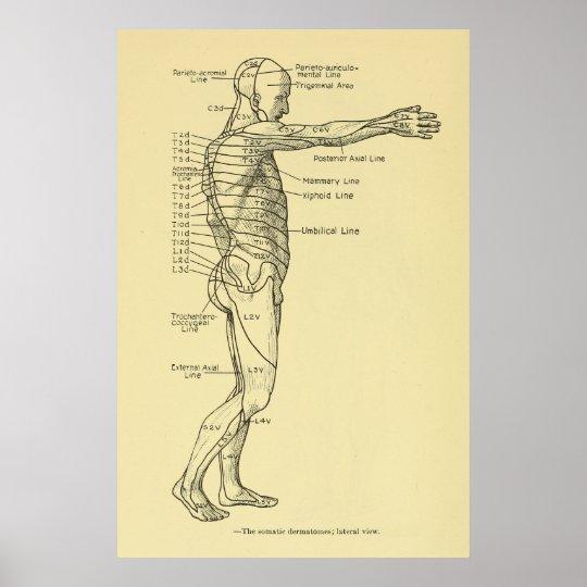 Dermatomes Nervensystem-Diagramm-Chiropraktik Poster | Zazzle