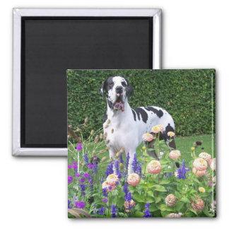 Deutsche Dogge, Great Dane,Hunde,Dogue Allemand Quadratischer Magnet