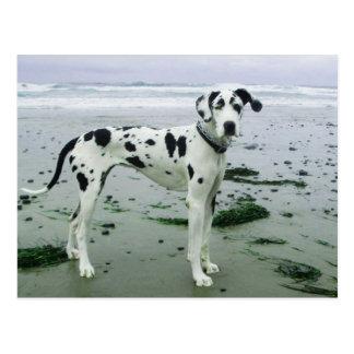 Deutsche Dogge Sydney am Strand Postkarte