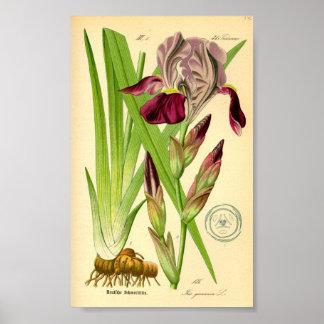 Deutsche Iris (Iris germanica) Poster