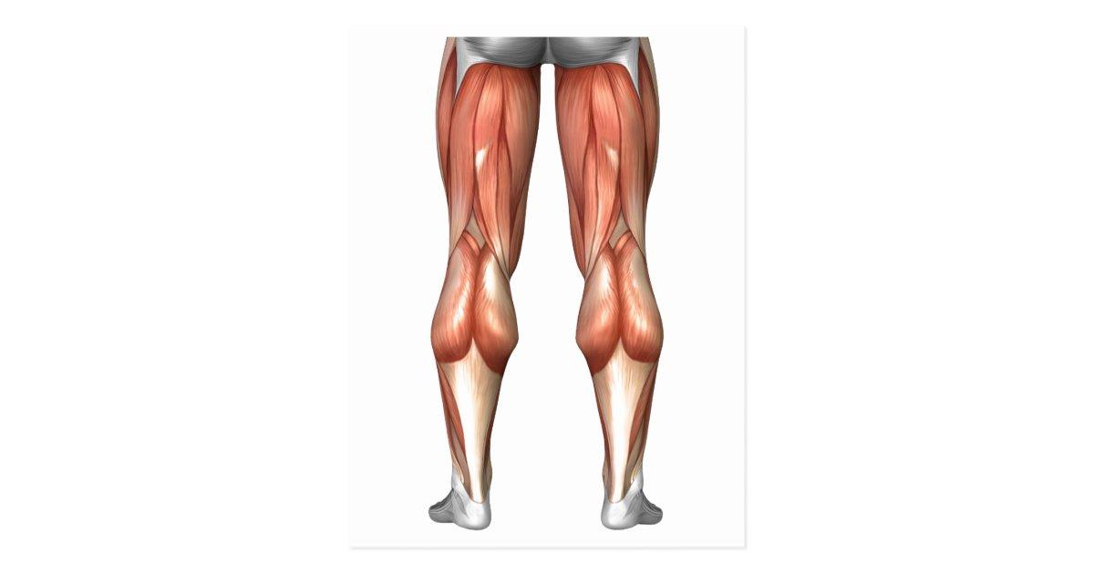 Ausgezeichnet Muskeln Im Bein Diagramm Zeitgenössisch - Menschliche ...