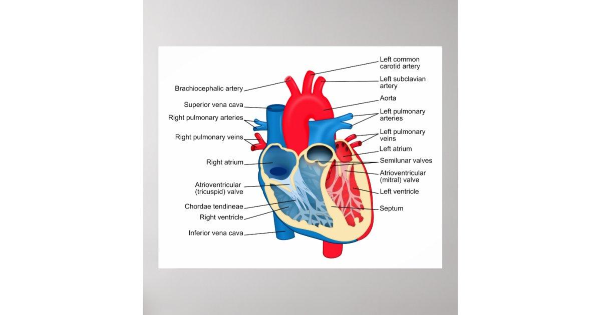 Diagramm der Einzelteile des menschlichen Herzens Poster | Zazzle