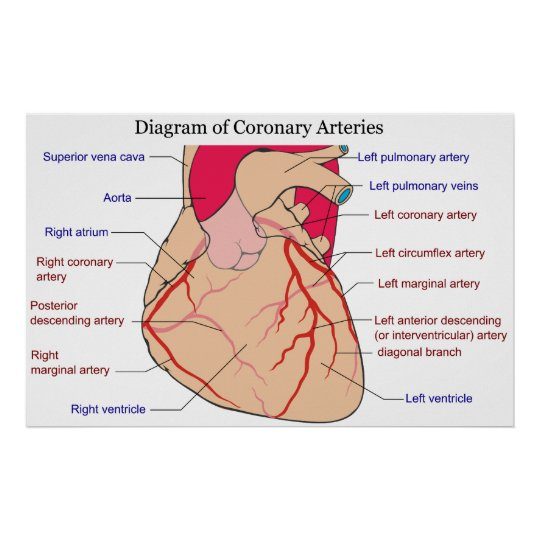Diagramm der Koronararterien eines menschlichen Poster   Zazzle