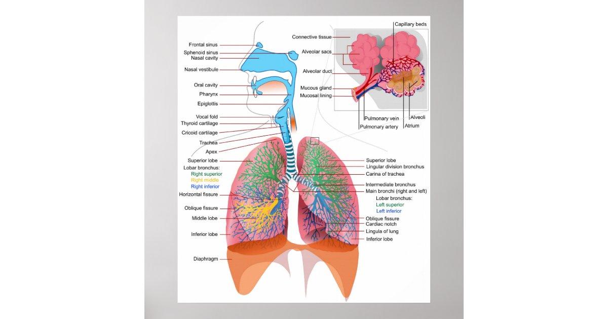 Diagramm des menschlichen Atmungssystems Poster | Zazzle