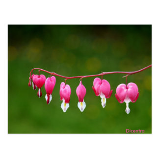 Dicentra - rosa Herz-Form-Blumenpostkarte Postkarten