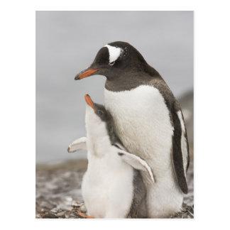Die Antarktis, Aitcho Insel. Gentoo Pinguinküken Postkarte