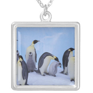 Die Antarktis, Emporer Pinguin ((Aptenodytes Versilberte Kette