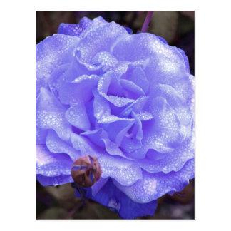 Die blaue Rose Postkarten