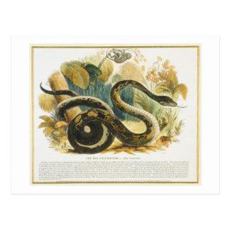 Die Boa constrictor, pädagogischer Illustration Postkarte