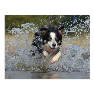 Die Border-Collie springend in Wasser Postkarte