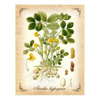 Die Erdnuss-Pflanze - Vintage Illustration Postkarte