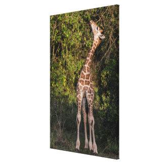 Die Giraffe, die bis erreicht, essen Leinwanddruck