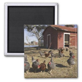Die Hühner, die Boden Arbeits sind, nähern sich Hü Quadratischer Magnet