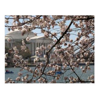 Die Kirschblüten in der Blüte im Washington DC Postkarte