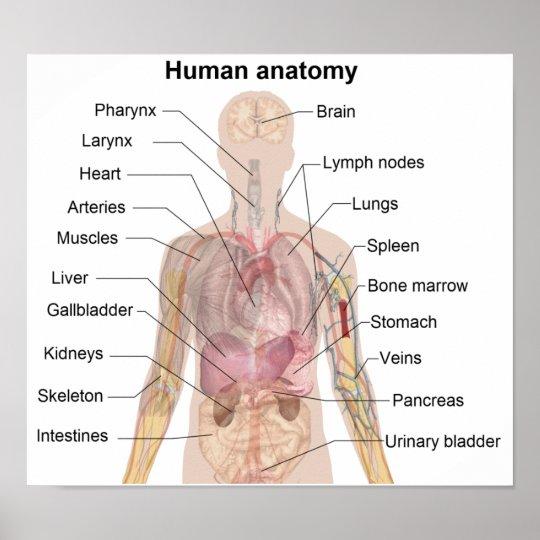 Die menschliche Anatomie Poster   Zazzle
