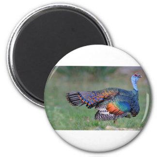 Die Ocellated Türkei in Guatemala Runder Magnet 5,7 Cm