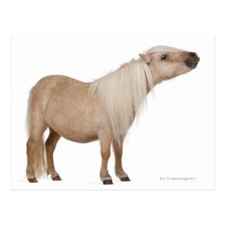 Die Palomino-Shetlandinseln-Pony - Equus caballus Postkarte