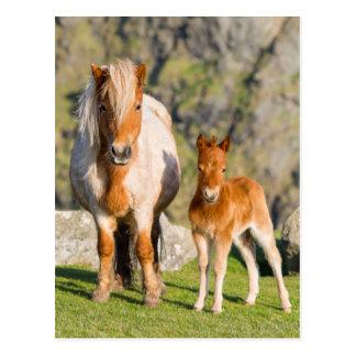 Die Shetlandinseln-Pony auf Weide nahe hohen Postkarte