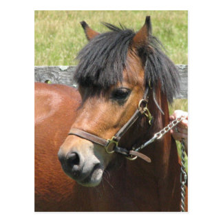 Die Shetlandinseln-Pony-Entwurfs-Postkarte Postkarte