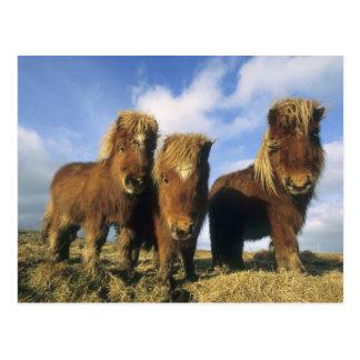 Die Shetlandinseln-Pony, Festland Shetland-Inseln, Postkarte