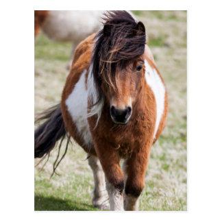 Die Shetlandinseln-Pony, Shetland-Inseln, Postkarte