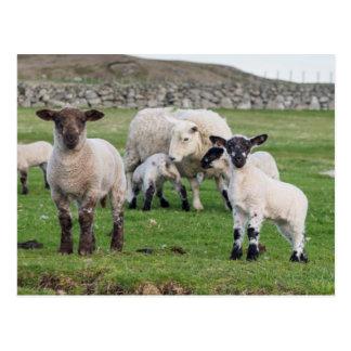 Die Shetlandinseln-Schafe 5 Postkarte