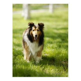 Die Shetlandinseln-Schäferhund, der auf das Gras Postkarte