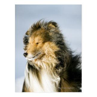Die Shetlandinseln-Schäferhund Postkarte