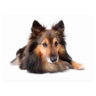 Die Shetlandinseln-Schäferhund, Shetie (Zobel) Postkarte