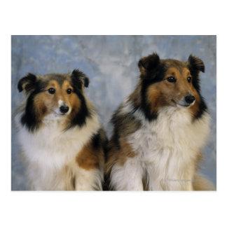 Die Shetlandinseln-Schäferhunde Postkarte