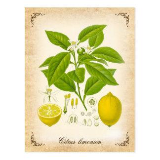Die Zitrone - Vintage Illustration Postkarte
