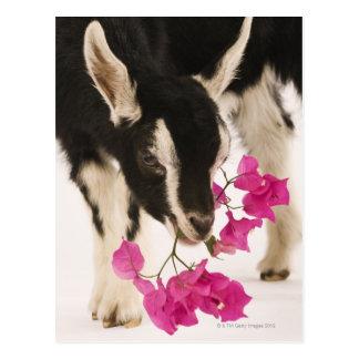 Domestizierte britische alpine Ziege (Kind). Postkarte
